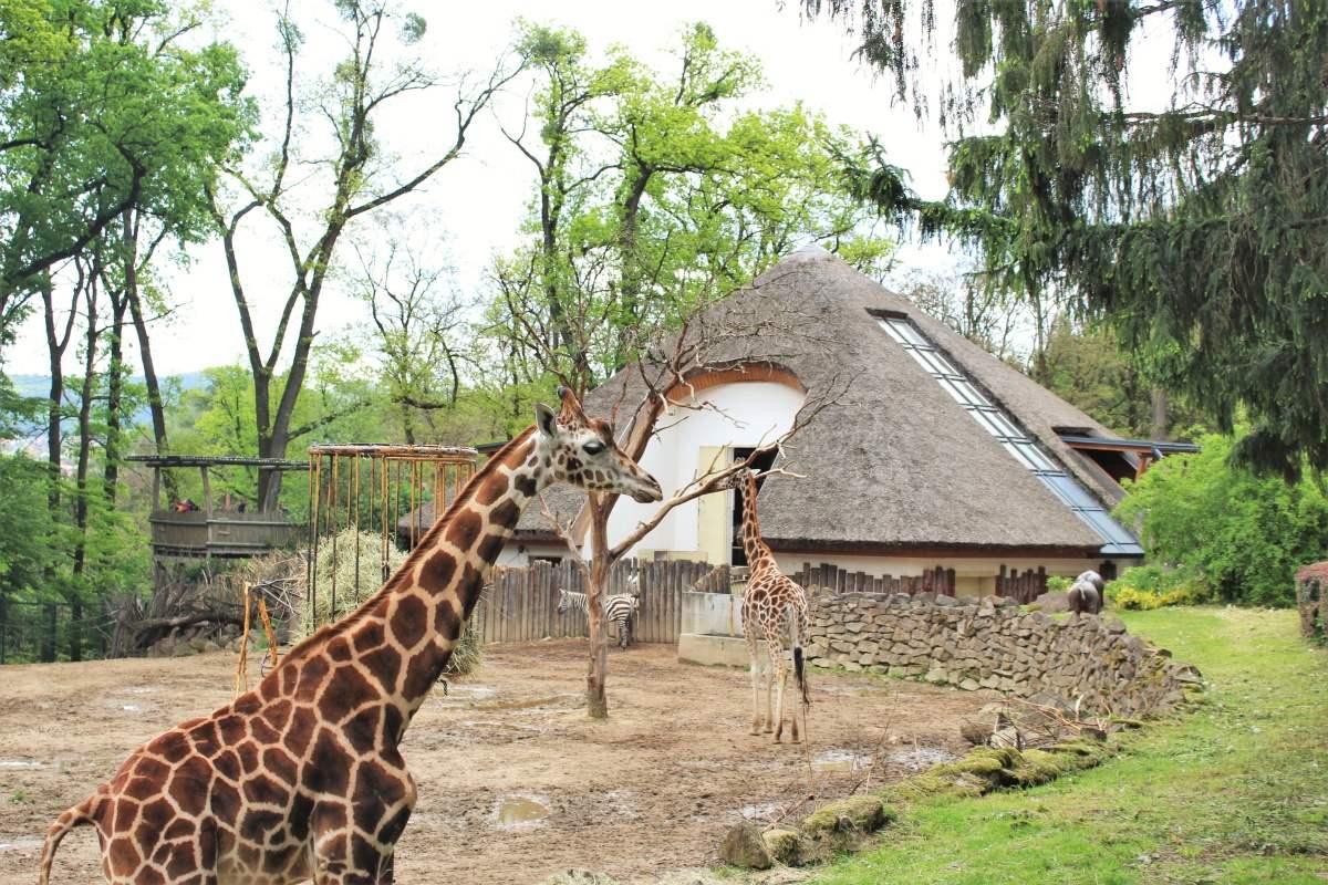Pavilon žiraf v Zoo Zlín projekčně připravil Centroprojekt